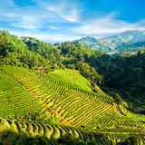 Tea plantation landscape under blue cloudy sky. Chaing Rai provi Stock Photo