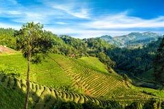 Tea plantation landscape under blue cloudy sky. Chaing Rai province, Thailand royalty free stock image