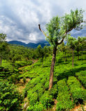 Tea plantation landscape. Munnar, Kerala, India Royalty Free Stock Image