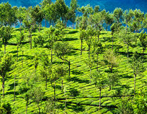 Tea plantation landscape. Munnar, Kerala, India Stock Photo