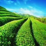 Tea plantation landscape under blue cloudy sky. Thailand Stock Photography