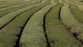 Tea plantation landscape Royalty Free Stock Photography