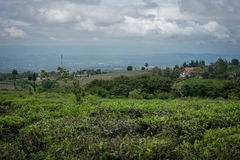 Tea plantation. Tea leaves growing in a tea plantation, West Java Stock Image
