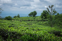 Tea plantation. Tea leaves growing in a tea plantation, West Java Royalty Free Stock Image