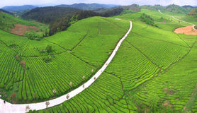 Tea plantation line Royalty Free Stock Images