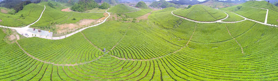 Tea plantation line Stock Photography