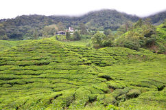Tea plantation located in Cameron Highlands Royalty Free Stock Photos
