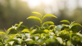 Tea Plantation. Location Nan, Thailand Royalty Free Stock Image