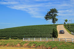 Tea plantation, lone tree and car driving on the hill. In Chiang rai, Thailand Stock Images