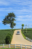 Tea plantation, lone tree and car driving from the hill. In Chiang rai, Thailand Royalty Free Stock Photos