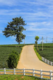 Tea plantation, lone tree and road on the hill. In Chiang rai, Thailand Royalty Free Stock Photo