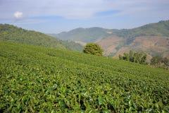 Tea plantation in Mae Salong, northen Thailand. Stock Photos