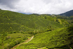 Tea Plantation In Malaysia Stock Photography