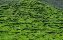 Tea plantation in malaysia Royalty Free Stock Photography