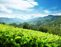 Tea plantation, Malaysia Royalty Free Stock Photos