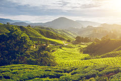 Tea plantation in Malaysia Royalty Free Stock Images