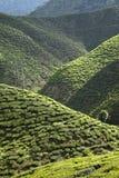 Tea plantation,Malaysia Royalty Free Stock Photo