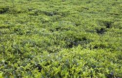 Tea plantation . Mauritius Stock Image
