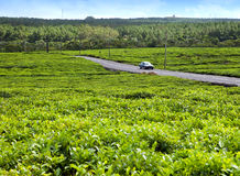 Tea plantation. Mauritius Royalty Free Stock Photography