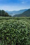 Tea Plantation. In meijiawu.Hangzhou Royalty Free Stock Image