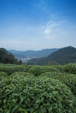 Tea Plantation. In meijiawu.Hangzhou Royalty Free Stock Photography