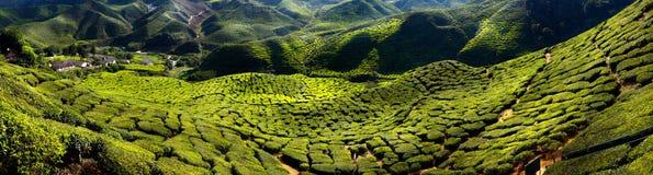 Tea plantation. In the morning, Cameron highlands, Malaysia Royalty Free Stock Photo