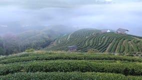 Tea plantation in morning ,Chiangmai , Thailand. stock video