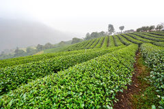 Tea plantation in morning mist Royalty Free Stock Photos