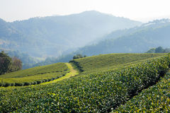 Tea plantation in morning sunlight. Mae Salong, north Thailand Royalty Free Stock Image
