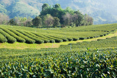 Tea plantation in morning sunlight. Mae Salong, north Thailand Stock Photo