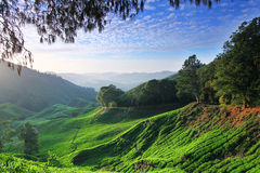 Tea plantation in the morning Royalty Free Stock Image