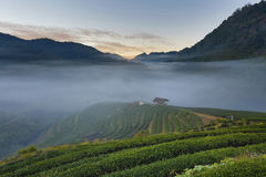 Tea plantation in morning view, Ang-Khang Thailand Royalty Free Stock Image