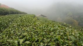 Tea Plantation. In the mountain Royalty Free Stock Image