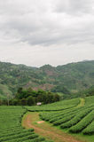 Tea plantation. With mountain background Stock Photography