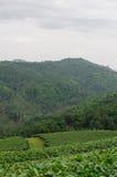 Tea plantation. With mountain background Royalty Free Stock Photos