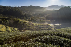 Tea plantation on mountain in the morning Royalty Free Stock Image