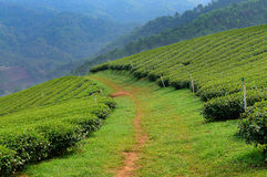Tea Plantation. With mountain range background in Chiang Mai Province, Thailand royalty free stock photo