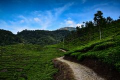 Tea plantation at mountain. Road, tree, blue, sky, landscape, agriculture, green, highland royalty free stock photo