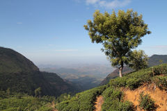 Tea plantation and mountains Royalty Free Stock Photography