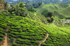 Tea plantation in the mountains Royalty Free Stock Photography