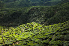 Tea plantation in the mountains Stock Images