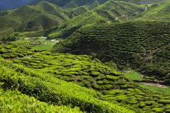 Tea plantation in the mountains Royalty Free Stock Images