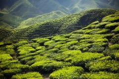 Tea plantation in the mountains Royalty Free Stock Photo