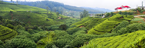 Tea plantation. In the mountains of Sri Lanka Royalty Free Stock Photos