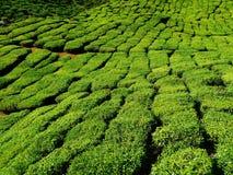 Tea plantation. Moutain and tea plantation in Malasia royalty free stock image