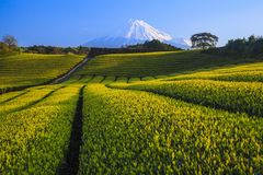 Tea plantation and Mt. Fuji Royalty Free Stock Photography