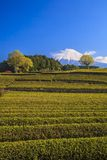 Tea plantation and Mt. Fuji Stock Image