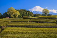 Tea plantation and Mt. Fuji Stock Photos