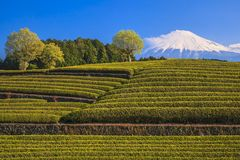 Tea plantation and Mt. Fuji Royalty Free Stock Image
