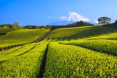 Tea plantation and Mt. Fuji Royalty Free Stock Images